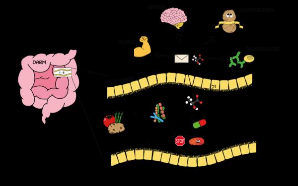 Schaubild zum Zusammenhang von Körper und Darmbakterien und Darmgesundheit. Nahrung beeinflusst Darmbakterien. Bakterien haben Einfluss auf Muskel, Gehirn, Stoffwechsel und Immunsystem, sowie auf Medikamente und Pathogene.